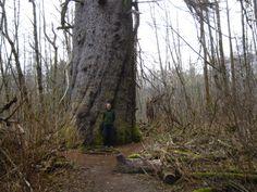 Giant sitka spruce tree - Kitimat, BC