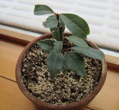 Do you know how to propagate bay leaf? Bay leaf tree propagation involves two method-- propagation by cutting and seeds.
