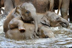 Asian elephants take a bath in a pool at the zoo in Hanover, northern Germany, on April 27, 2012. Five baby elephants are raised in the zoo Hanover. AFP PHOTO / HOLGER HOLLEMANN