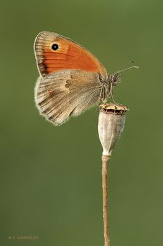 A portrait of a Meadow brown butterfly (Maniola jurtina) resting on a poppy capsule.