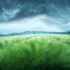 Barley Field Wall Mural: Nature: landscapes: A dark sky and gusty winds foreshadow a storm. The lush green barley field below blows freely awaiting the coming rain. A minimalistic wall mural image that can be printed on demand. Your specifications will be met for any interior design or home decor project. Create your own wallpapers, wall art and more by exploring our extensive collections.
