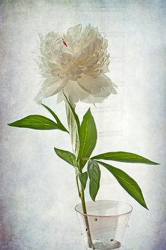 FLORAL CONVERSATION by Maggie Terlecki Ever see a flower and it just speaks to you? This one spoke to me as in I absolutely had to photograph it. It's petals are so pretty and delicate, so beautiful and feminine. THIS IMAGE IS AVAILABLE FOR PURCHASE FOR MORE INFORMATION, CLICK THE PHOTO. #fineart #photography #painterly #flower #floral #peony #whiteflowers #stilllife #maggieterlecki