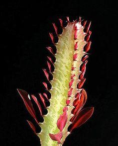 Euphorbia trigona  'Royal Red' Succulent Gardening, Royal Red, Plant Leaves, Succulents, Backyard, Plants, Diy, Yard, Bricolage