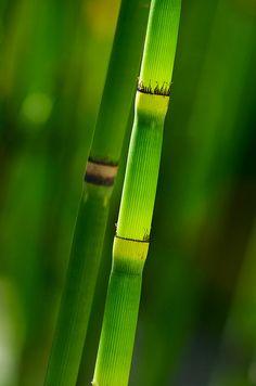 Green Equisetum by jim_mcculloch - Jim McCulloch
