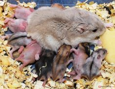 Mama ham and pups
