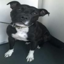 Male Staffordshire bull terrier found in St. Albans, Hertfordshire on Monday 10th October. Wearing a black and white collar with no tag. Microchip says his name is Ollie and registered to an address in Harlow, Essex. The phone number on the chip doesn't connect.He has been taken by the dog warden and will be rehomed ifRead More
