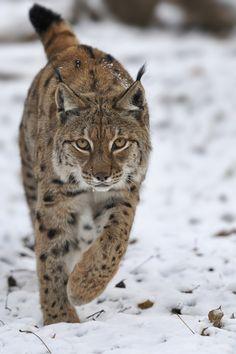 Cool Lynx