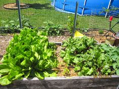 romaine, peppers, beets and rutabagas