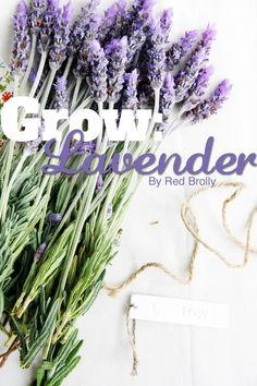 {Grow} Hints and tips for growing and drying Lavender