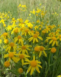 Butterweed.......................michele