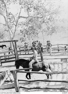 1942 Independent Light Horse breaking in horses - New Guinea