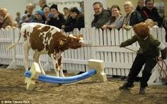 agility for horses obstacles diy - Google Search