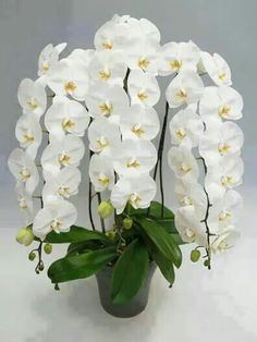Beautiful White Orchids! #phalaenopsis #orchids