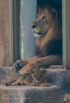 ~~Fatherhood ~ Lion and cub by julian john~ the lion king awh :D Nature Animals, Animals And Pets, Baby Animals, Funny Animals, Cute Animals, Pretty Cats, Beautiful Cats, Animals Beautiful, Big Cats