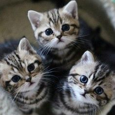 """Once upon a time, there were 3 little kittens and their names were Mittens, Tom Kitten and Moppet. They each had dear little fur coats of their own and they tumbled by the door step and played in the dust."" --Beatrix Potter (""The Tale of Tom Kitten"")"