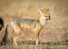 Capefox by pnegi #animals #animal #pet #pets #animales #animallovers #photooftheday #amazing #picoftheday