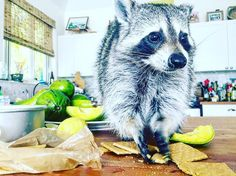 """🐶""""Pumpkin your job is to is to crush the graham crackers for the crust"""" 🎃""""I know...that's what I have been doing"""" 🐶""""Yea but stop doing it with your mouth and then swallowing it"""" 🎃🐶🐶🍰 #pumpkintheraccoon #raccoon #weeklyfluff #instagood #instagram #instalike #instadaily #love #pet #pie #cooking"""