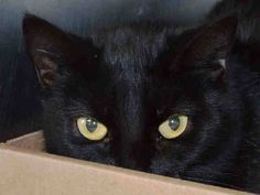 NYC **Passive Sweet Kitten** TO BE DESTROYED 03/12/15 CHAI retreats upon approach, but remains neutral, she looks at the assessor with focused, but relaxed eyes & allows touch. ID #A1029349. Female black about 5 MONTHS old. OWNER HOSP. I came in with Group/Litter #K15-004879. https://www.facebook.com/nycurgentcats/photos/a.969825833035404.1073742622.220724831278845/969825993035388/?type=3&theater