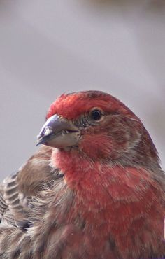 Red Finch~cl