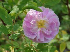 Bety Bland, a hybrid of the thornless Rosa blanda.