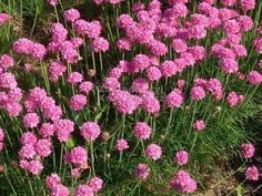 Armeria maritima Splendens or Sea Thrift Seeds Hardy Perennials, Flowers Perennials, Outdoor Plants, Outdoor Gardens, Cottage Garden Plants, Drought Tolerant Plants, Cactus, Back Gardens, Cool Plants