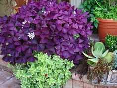 oxalis plant   ... RECIPES - Past and Present forum : Purple Oxalis with Ice Plant