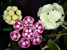 Hoya cystiantha & Hoya archboldiana & Hoya danumensis