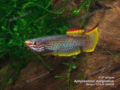 Aphyosemion marginatum bengi GJS 00-29