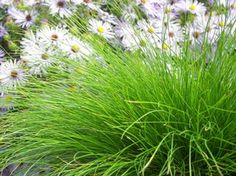 Carex eburnea (Bristleleaf sedge) - Grass - Zones 2-8, Height 6-8 in. A wonderful naturalizer, Carex eburnea is the ideal native groundcover for dry shade areas and the woodland or rock garden. Petite colonies of 6-8 inch long soft, thread-like foliage takes on a spherical shape as inconspicuous whitish-green flower spikes appear in early spring.