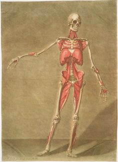 Cette planche représente le dernier ordre de Muscles  [Muscle placement on the human skeleton.]  Arnaud Eloy, 1773.