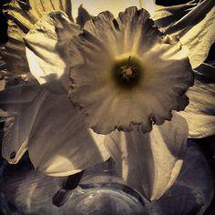 Daffodil. 27th March 2012