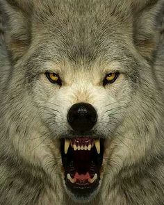 "w-o-l-f–g-i-r-l: "" Angry wolf dy Don Dodd Rise oh moon for it is time for the wolf to howl. The wolf is awake, roaming and longing for your light. Beautiful Wolves, Animals Beautiful, Cute Animals, Wolf Images, Wolf Pictures, Wolf Spirit, My Spirit Animal, Wolf Hybrid, Angry Wolf"