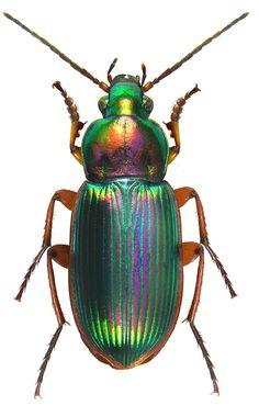 Chlaenius rufomarginatus