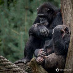 Nachdenkliche Schimpansen