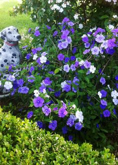 Yesterday, today an tomorrow :) (Brunfelsia) My Mom's favorite plant <3 Miss my Mom <3
