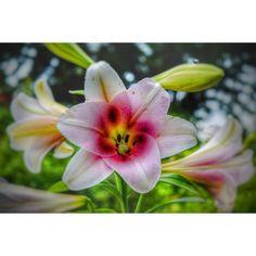 こんばんは♡ 港の見える丘公園にて撮影です( •ॢ◡-ॢ)✧˖° ♡ 今日も、ふじちゃん隠れてるよ。 ヒントは右上の方だね。 綺麗なゆりだね。 #横浜 #yokohama  #flower #花 #百合 #ユリ #ゆり #lily #flowergram  #flowers  #flowerslovers  #pink #ピンク #ゆた散歩  #ふじちゃん #flowerstagram #photOFtheDay  #instadiary  #instalike  #instamood  #instalove  #instadiary  #写真撮っている人と繋がりたい #ファインダー越しの私の世界 #写真好きな人と繋がりたい #イマソラ でない #写真部  #写真 #旅行記  #旅行 http://misstagram.com/ipost/1545704337660914288/?code=BVzcefWDypw