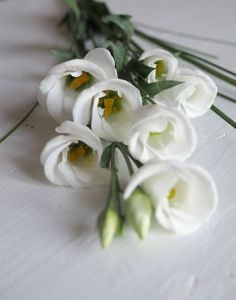 Preeriaeustoma