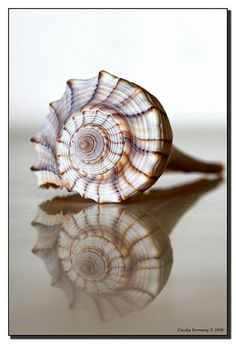 Male Welk shell the only left handed shell in America  Female Welks have a lighter color. Seashell with reflection ~~~