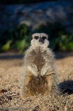 Meerkat Magic BelAfrique - Your Personal Travel Planner www.belafrique.co.za