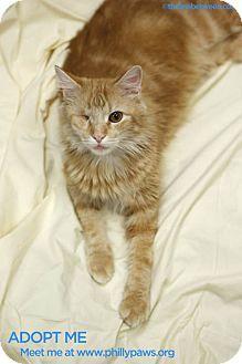 Philadelphia, PA - Domestic Longhair. Meet Blitzen a Cat for Adoption.