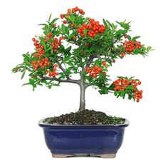 Bonsai plants are plants or trees that have actually been specifically cultivated to be miniature versions of the larger trees or shrubs. Bonsai Tree Types, Bonsai Plants, Garden Plants, Indoor Plants, Bonsai Trees, Plantas Bonsai, Miniature Trees, Grow Lights, Growing Vegetables