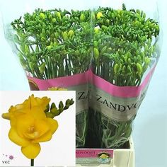 Freesia Clarissa is a yellow double flowering variety. Stem length approx. 55cm. Wholesaled in 50 stem wraps.
