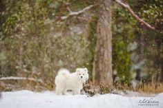 samojedinkoira, samojedi, koiranpentu, samojedin pentu, koirakuvaus, lilychristina photography, puppy, dog, white dog White Dogs, Puppies, Photography, Animals, Outdoor, Outdoors, Cubs, Photograph, Animales