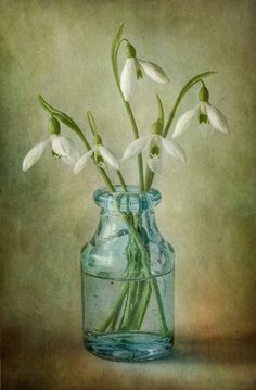 Snowdrops | by Mandy Disher