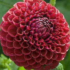 Garden Balls, East Of Eden, Dove Bird, Rose Cottage, Ranunculus, Garden Plants, Garden Fun, Amazing Gardens, Trees To Plant