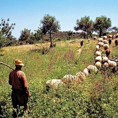 Shepherd walking with herd of sheep and goats, Cyprus Cyprus Island, Cyprus Greece, What Dreams May Come, North Cyprus, Paphos, Island Nations, Continents, Travel Inspiration, Places To Go