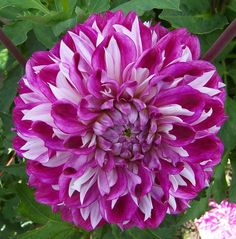 Novelty dahlia 'Optic Illusion'