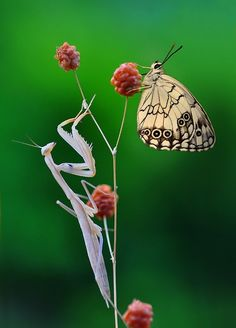 ...Praying mantis & butterfly!