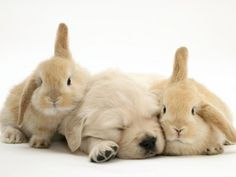 golden retriever + bunnies