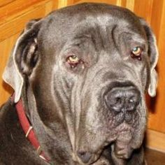 Toby is an adoptable Neapolitan Mastiff Dog in Gilbert, AZ. Toby is a big boy. Just 3 years old and very playful and loving. But, mom and dad are not able to provide the structure and exercise a big b...